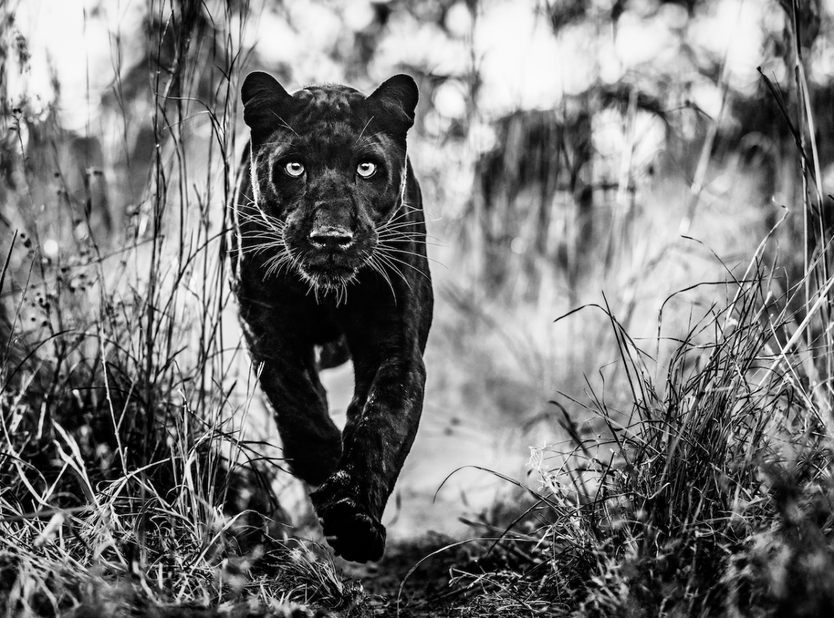 the black panther returns david yarrow